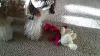 Shih Tzu Shaking Her New Toy.