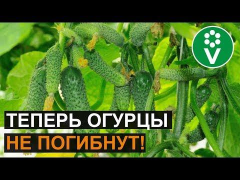 Революционный способ борьбы с ПЕРОНОСПОРОЗОМ огурцов, лука, чеснока