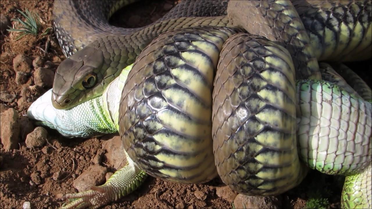Snake Eats Lizard