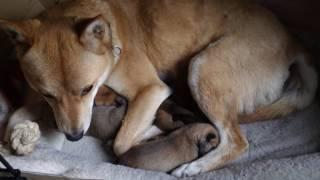 2016年12月31日に生まれた仔犬を子育て中のかれん。(2017年1月4日)