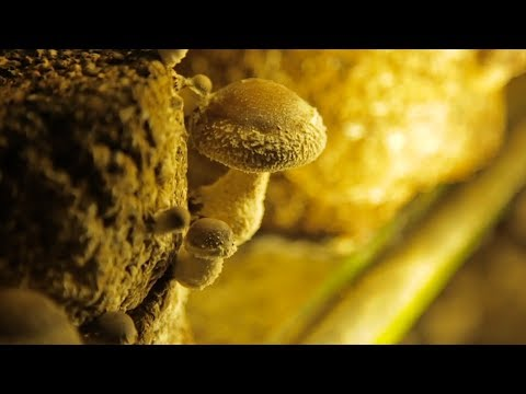 MUSHROOM | How Does it Grow?