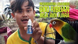DUNIA HOBI : Perawatan Lovebird 600 ribuan Bisa Gacor Jadi Juara