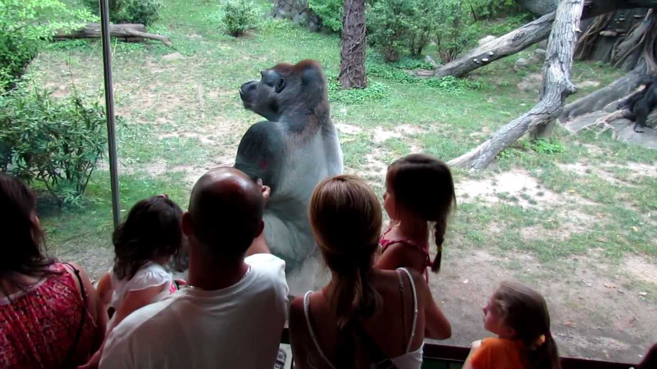 Silverback Poses For Photos At The Bronx Zoo Youtube