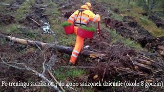 Sadzenie sadzonek drzew w Szwecji