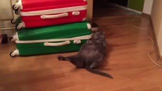 Funny Blue-Russian Cats. Baggage cat. Funny cool ever better