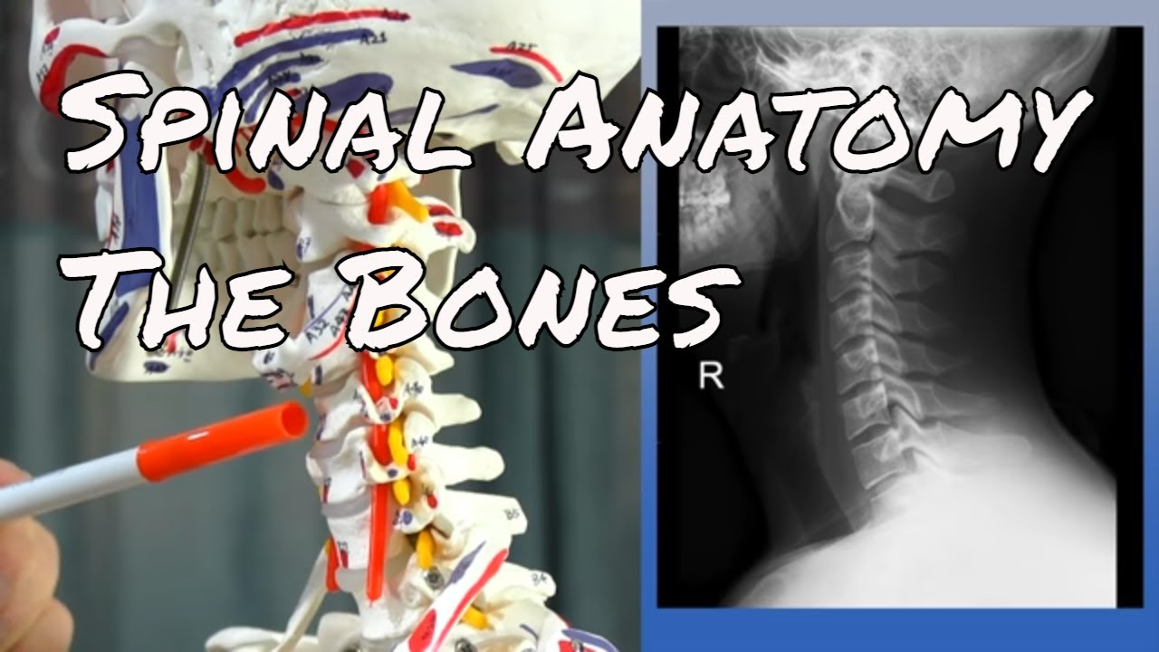 Spinal Anatomy The Bones - Motion Specific Release - YouTube