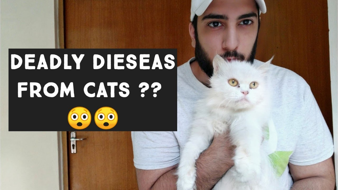 Cat Hair Are dangerous ? Diseases Spread from Cat to Human | Persian cat hair