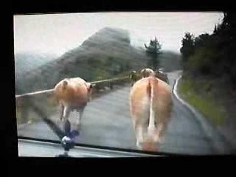 Vaches de Styrie Autriche