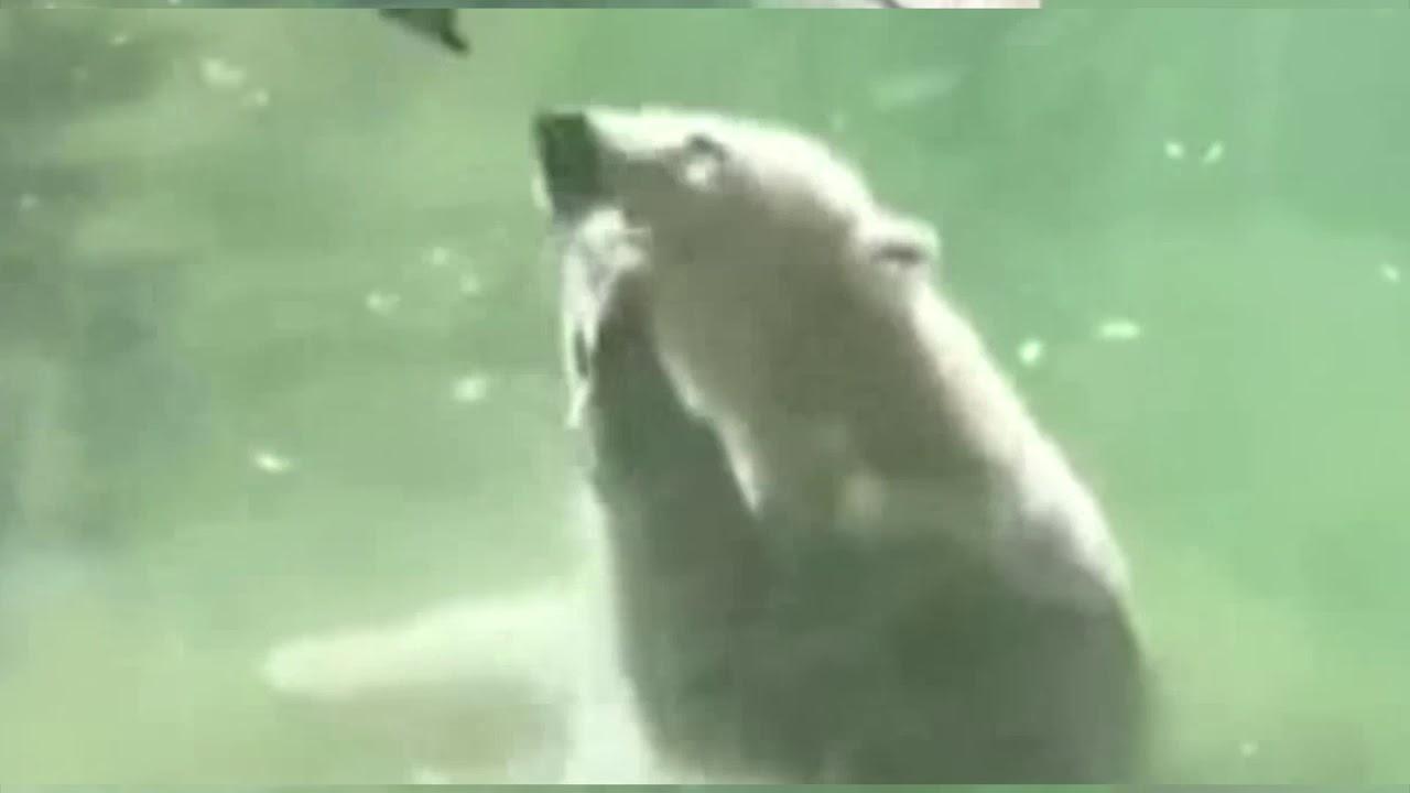 Лети птичка: белый медведь в зоопарке пытается оживить птицу