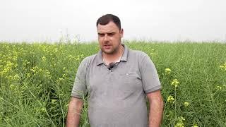 БЛУСТАР - ТОП ХИБРИДЪТ ОТ СИНДЖЕНТА