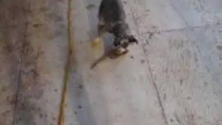Pepper Vs  Rat