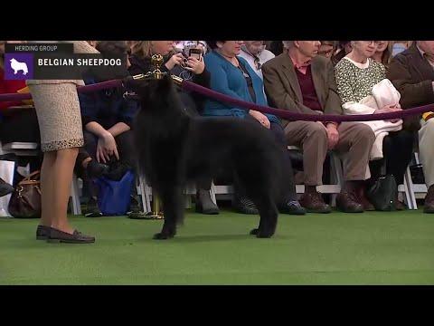 Belgian Sheepdog | Breed Judging 2020
