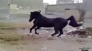 افضل حصان على وجه الارض سبحان الخالق