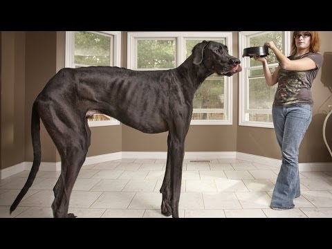 The Biggest Dog In The World / German Dog / Dog Zeus