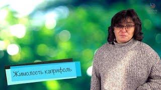 видео Жимолость каприфоль
