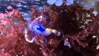 My  Little Blue Boxer Shrimp Stenopus Tenuirostris