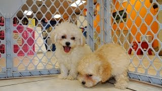 Maltipoo, Puppies For Sale, In, Lubbock, Texas, Tx, Waco, County, Garland, Irving