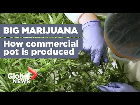 Growing Marijuana 101: How Your Pot Is Being Produced Ahead Of Legalization