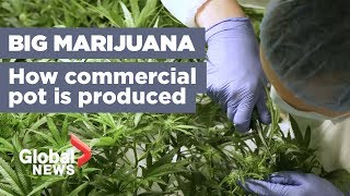 Growing marijuana 101: H๐w your pot is being produced ahead of legalization