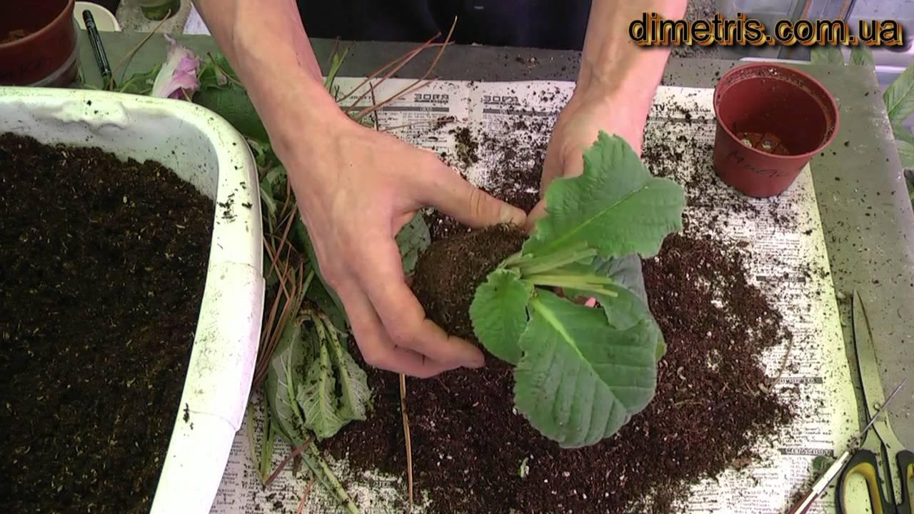 Почва для стрептокарпусов своими руками