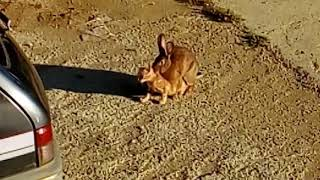Rabbit having sex with cat !?!