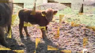 7000 Rinder v. Peter Hinnen gesungen