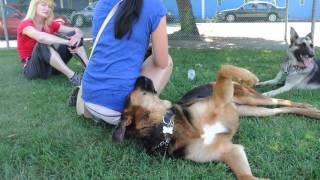 Westside German Shepherd Rescue - Jeremiah And Danke
