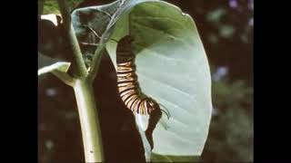 The Monarch Butterfly Story - Documentary Film
