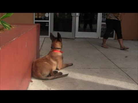 Trained puppy waits for trainer outside STARBUCKS!