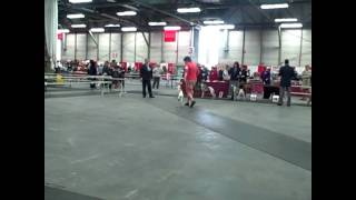 Edmonton Kennel Club Whippet + Group Judging April 18, 2010