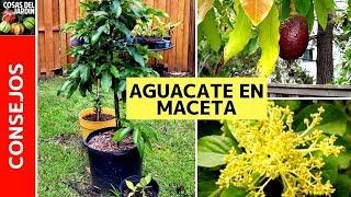 HOW TO GROW AN AVOCADO IN A POT - AVOCADO HOUSEPLANT CARE (EN ESPAÑOL)