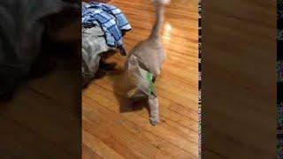 Cat Runs and Rips Through Fast Food Bag || ViralHog