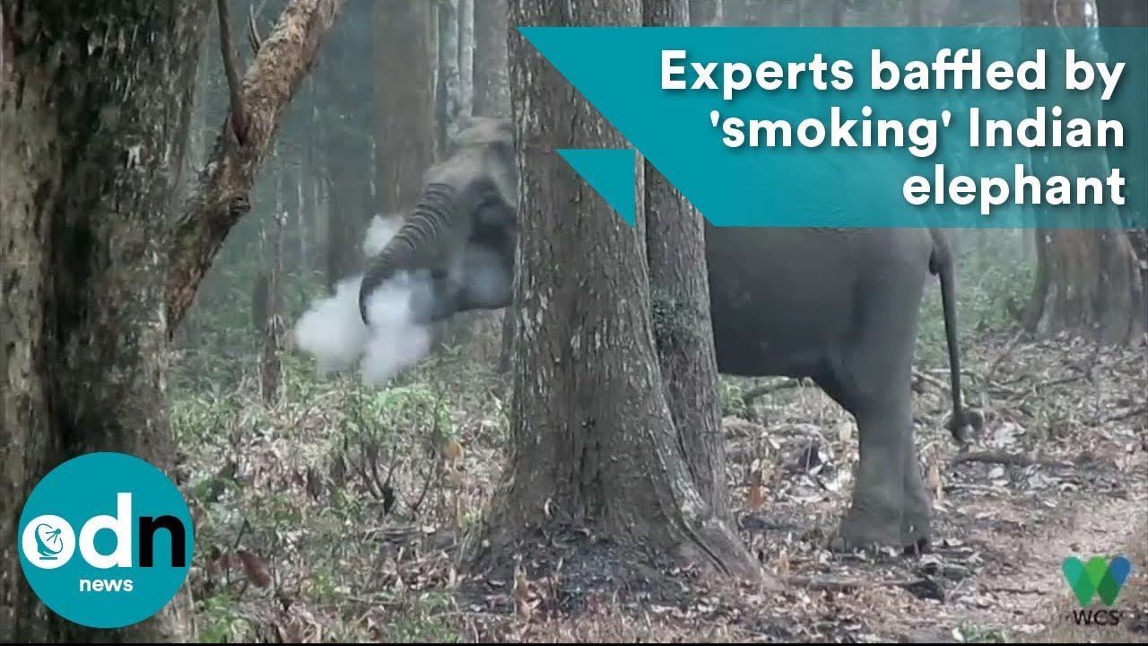Experts baffled by 'smoking' Indian elephant
