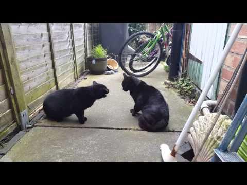 Screaming Cat Fight