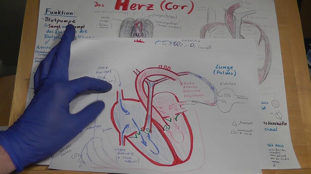 RD PRÜFUNGSWISSEN: Herz erklärt! Anatomie, Physiologie, Funktion ...