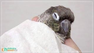 ウロコインコ:ハル 【おやすみインコ Part2~4k版~】 Conure: Good Night Haru Part 2 4k Ver.(ultra Hd) - Sleepy Bird