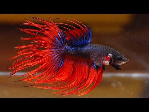 Аквариумная рыбка Петушок!
