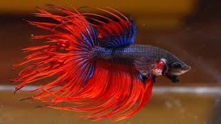 Аквариумная рыбка Петушок! Содержание и разведение аквариумной рыбки Петушок! #Петушок