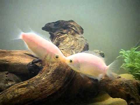 Kissing Gourami's Kissing Eachother!