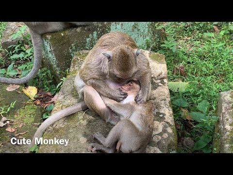 Polino monkey is so tired and hungry,so his mother breastfeeding and grooming for him