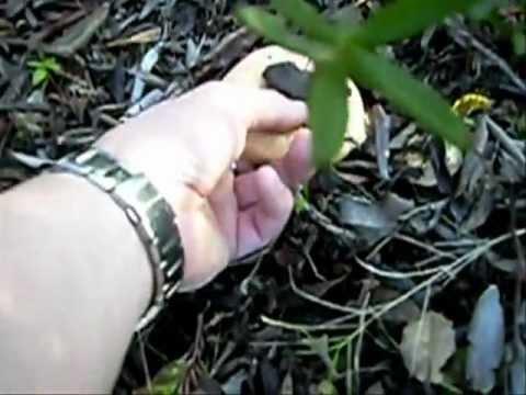 Gljive rujnice(pecurve)-Vis