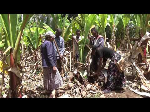 Doyogena Enset Baterial wilt disease control on traditional method
