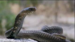 El peligroso ataque de la cobra escupidora