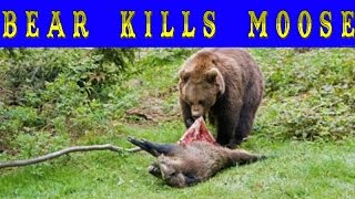 BEAR KILLS MOOSE ! Медведь убил лося! Охота на медведя