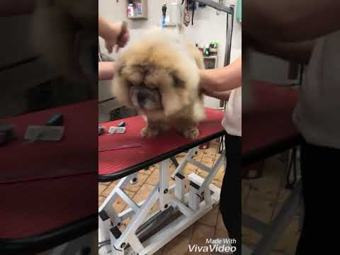 Chow chow Grooming, brush Chow chow