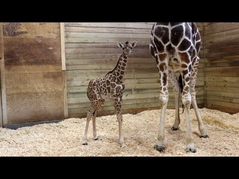 Thumbnail: Baby Giraffe At Zoo Takes First Steps Minutes After Being Born