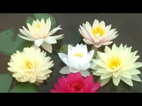 How to make Pond for Lily and Lotus at Home with Update