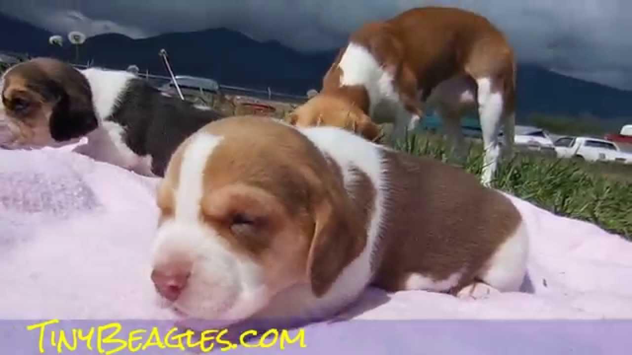 Tiny Pocket Beagles Puppies Video Miniature Beagle For Sale 3 Week