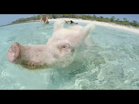 SWIMMING PIGS BAHAMAS EXUMA