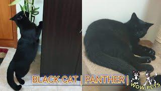 BLACK CAT ♡ | PANTHER|